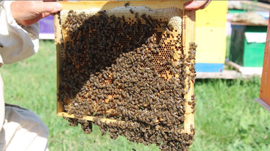 Выбор и покупка пчел